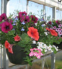 Product categories 2018 spring flower sale soroptimist 10 mixed hanging baskets sun part shade mightylinksfo